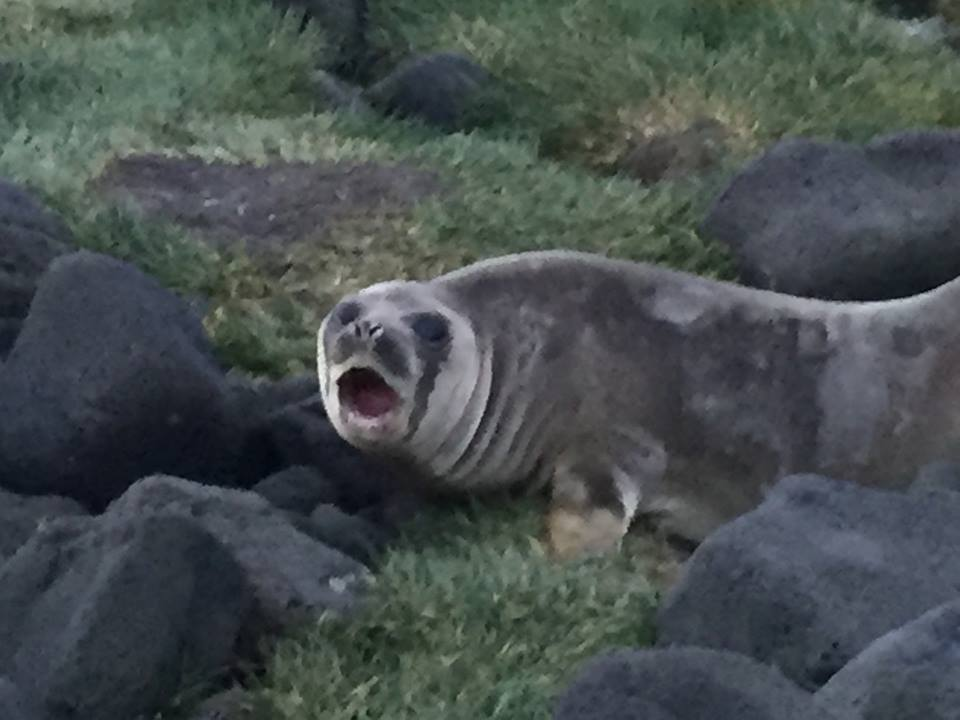 elephant_seal